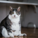 Thumbnail for Avoiding Obesity in Your Cat